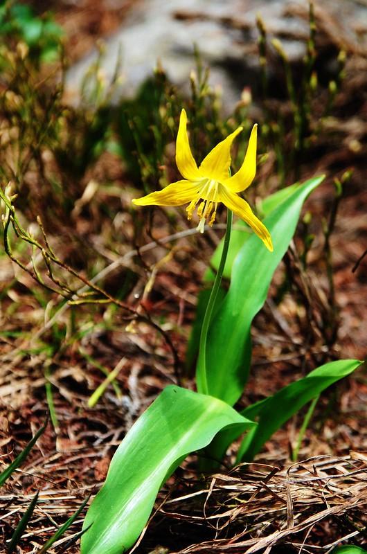 Glacier Lily (3)