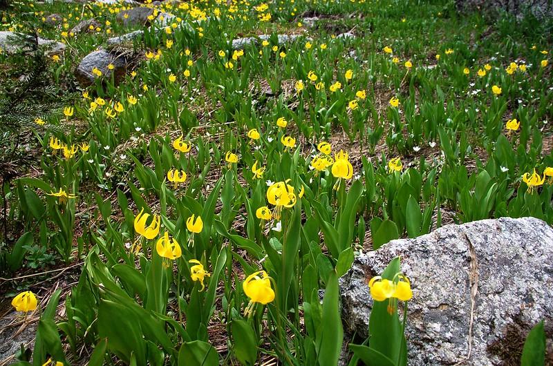 Glacier Lily (1)