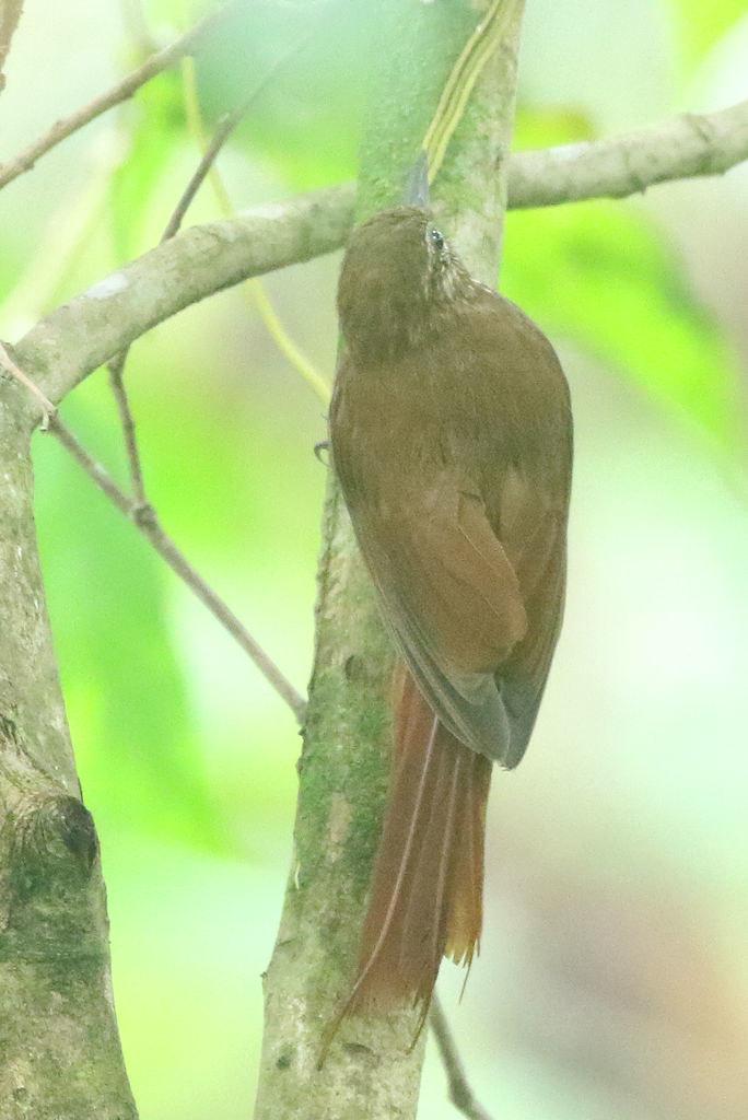 Wedge-billed Woodcreeper - Glyphorynchus spirurus - Naranjito,, Puntarenas, Costa Rica - June 20, 2019