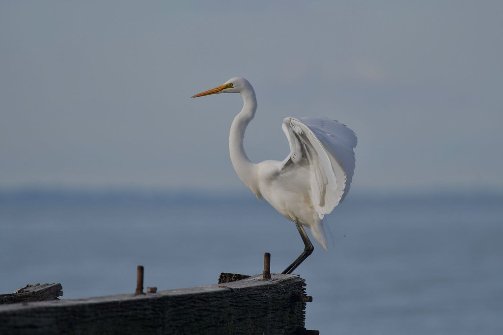 Great Egret ( and now its all mine )