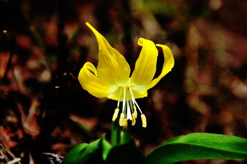 Glacier Lily (4)