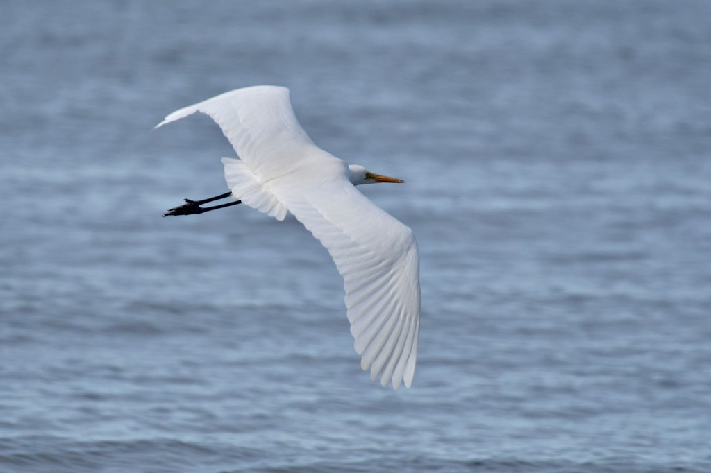 Great Egret ( not going to be told what to do )