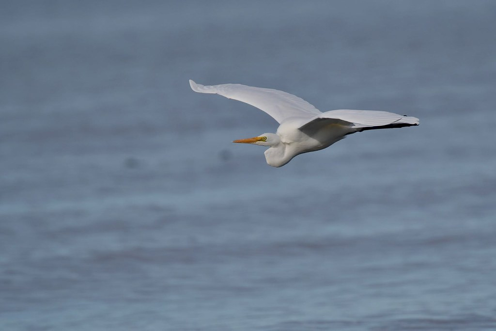 Great Egret ( and its on the way back )