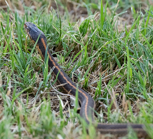 snake_in_the_grass_20190717_117
