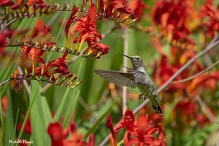 Anna's Hummingbird  Heaven!