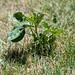 new_born_cottonwood_tree-20190717-100