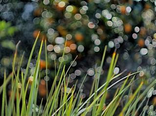 Iris leaves with Bokeh Kumquat Tree Background ---PB170160 -V2