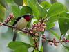 Black-spotted Barbet/Capitão-de-bigode-carijó/Cabezón negro (Capito niger) male