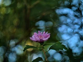 Rose OF Sharon ----P6061274 -2H103