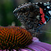 The Red Admiral Butterfly2