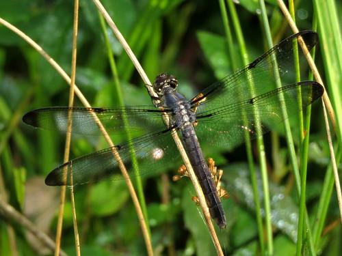 lawrencecounty ohio irontonunit waynenationalforest smithhollowwetlands odonata dragonflysurvey