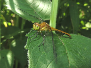 Small Dragonfly IMG_1609
