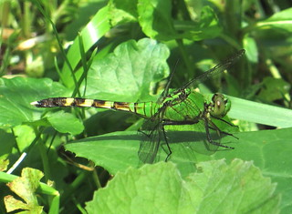 Green Dragonfly IMG_0888