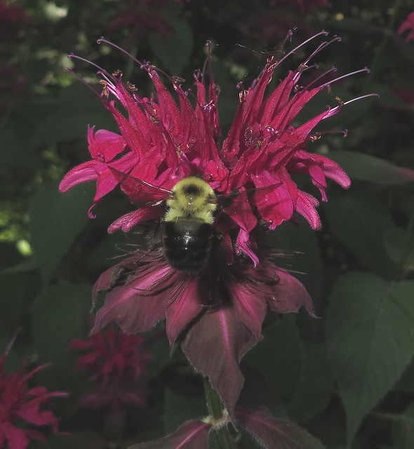 Bumble Bee Flying To A Ruby Red Bee Balm Flower IMG_1644
