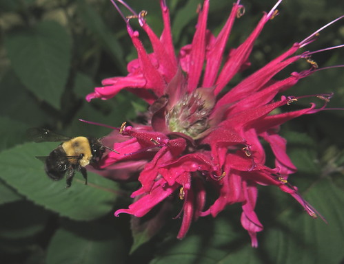 Bumble Bee Flying To A Ruby Red Bee Balm Flower IMG_1408