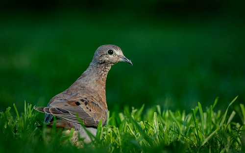 Tourterelle triste Juvénile - Mourning Dove Immature