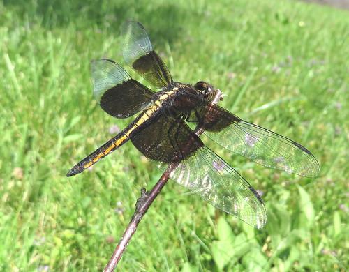 Dragonfly IMG_1309