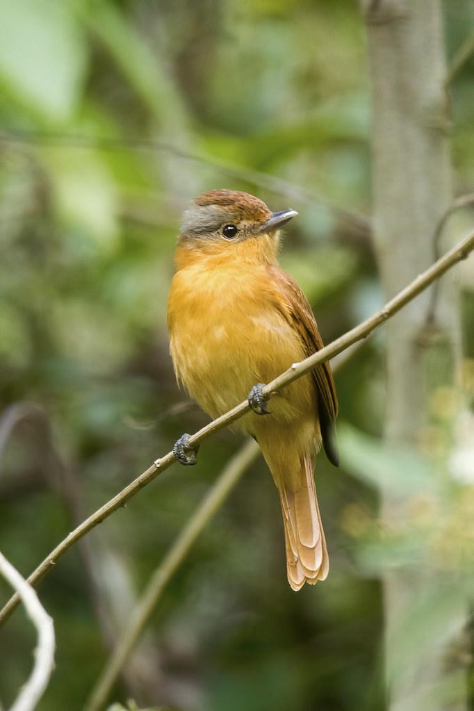 Caneleiro (Pachyramphus castaneus)