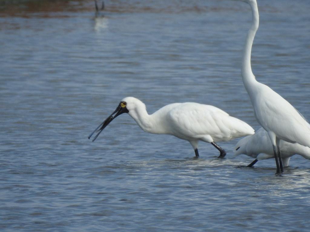 黑面琵鷺在水位降低、曬池的魚塭覓食。圖片提供:社團法人台灣黑面琵鷺保育學會(本圖非CC授權/限本文使用)