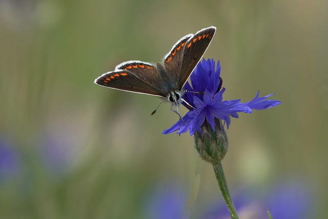 bruinblauwtje op een korenbloem