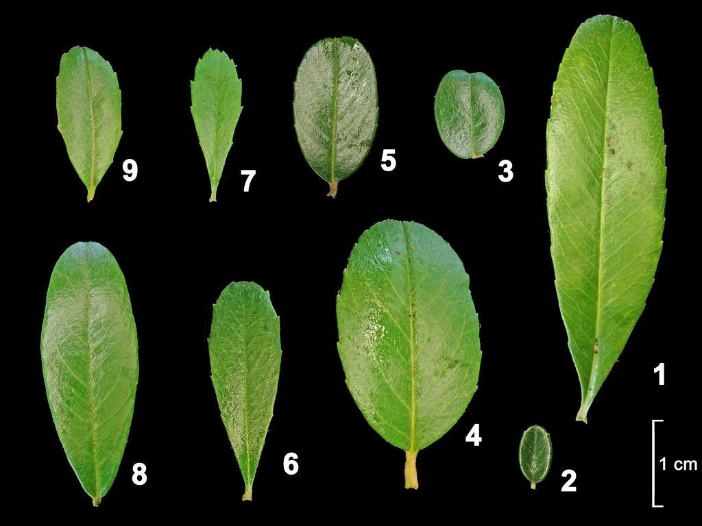 林試所提供的九種葉形中,只有2、3、8是台灣火刺木,其餘都概稱為「狀元紅」。圖片來源:林試所