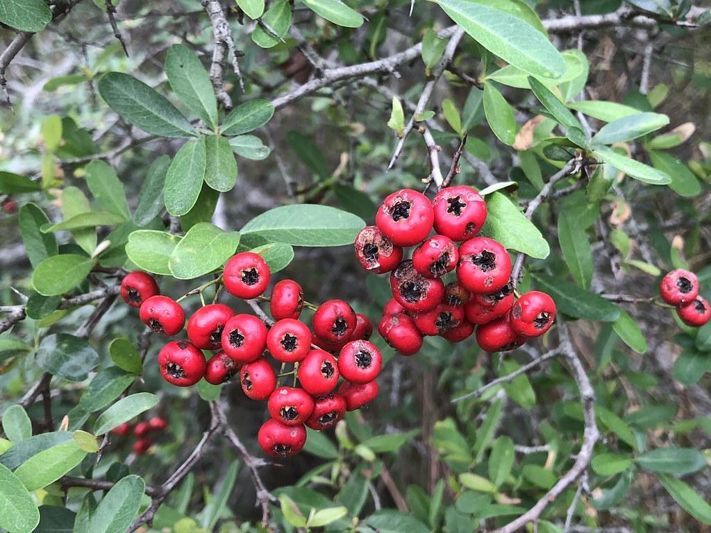 台灣火刺木紅色的果實不但鳥喜歡吃,1980年代前,更是東部居民放牛時的小點心,因此又有小蘋果之稱。攝影:廖靜蕙