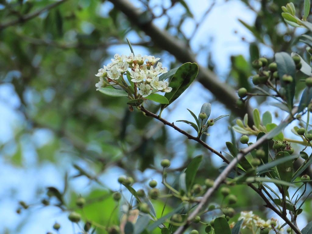 台灣火刺木是特有種植物,3月陸續開白花。圖為瑞穗富興社區詹家種植的植株。攝影:廖靜蕙
