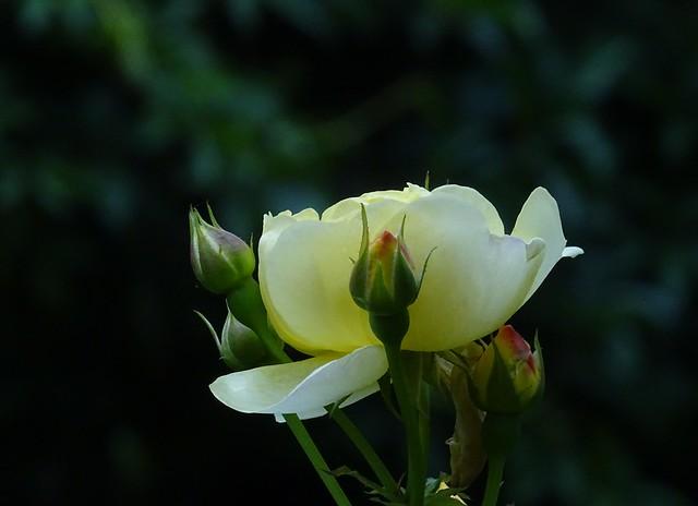 Eine Blume macht sich keine Gedanken, ob sie mit der Blume neben ihr mithalten kann, sie blüht einfach 💕