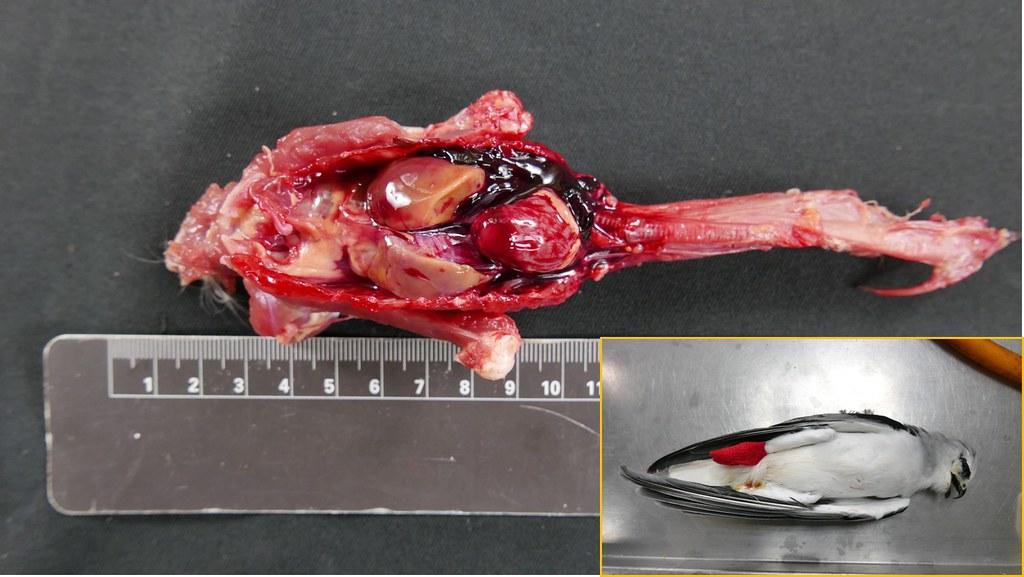 最新研究證實 台灣猛禽體內普遍驗出老鼠藥