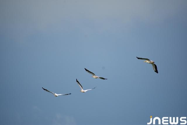 Pelikani 1