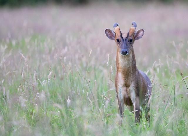 Muntjac Deer Buck