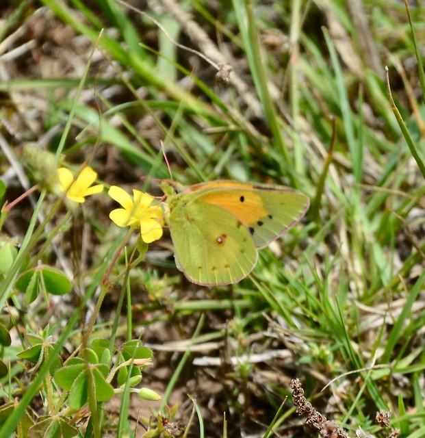 African Clouded Yellow Butterfly Gondwana DSC_9962