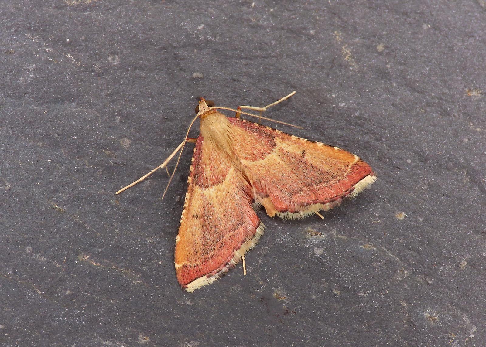 62.077 Rosy Tabby - Endotricha flammealis