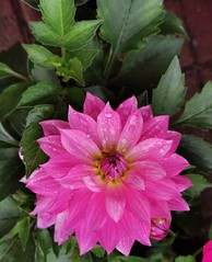 Just bought this lovely Dahlia. Plant this afternoon!