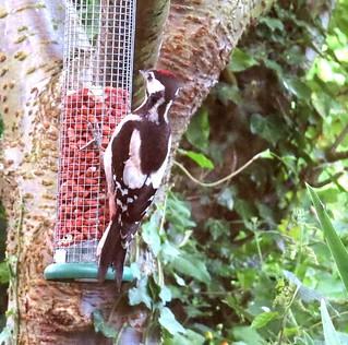 G-Spotted Woodpecker(J)  Skipsea 13-07-19