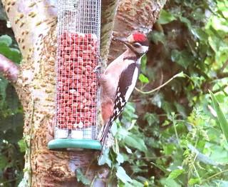 G-Spotted Woodpecke(J) Skipsea 13-07-19