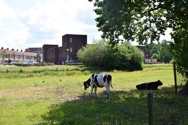 Koeien Almelo