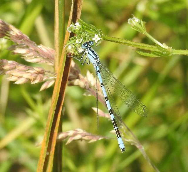 Common Blue Damselfly - Druridge Ponds