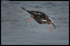 Pied Oystercatcher: Outbound