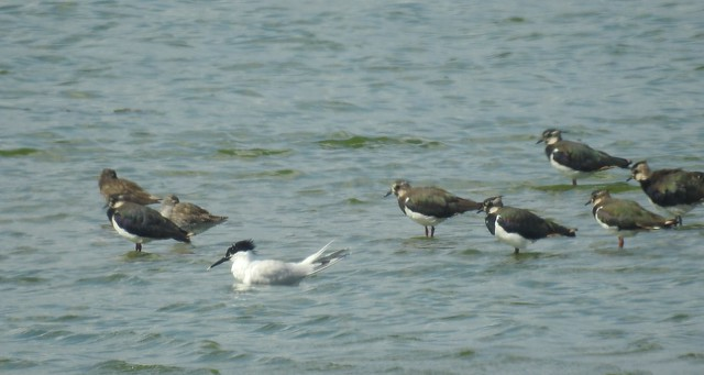 Wetland Birds and Sandwich Tern at Cresswell
