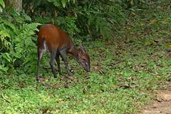 Céphalophe à front noir / Cephalophus nigrifrons / Black-fronted duiker