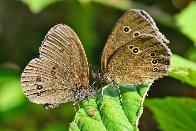 Ringlet butterflies
