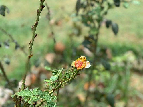 City Nature - Alternative Roses, Gurgaon