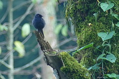 1.24663 Gobemouche de Berlioz / Melaenornis ardesiacus / Yellow-eyed Black-Flycatcher