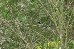 1.09098 Barbion à gorge blanche / Pogoniulus leucolaimus / Lemon-rumped Tinkerbird