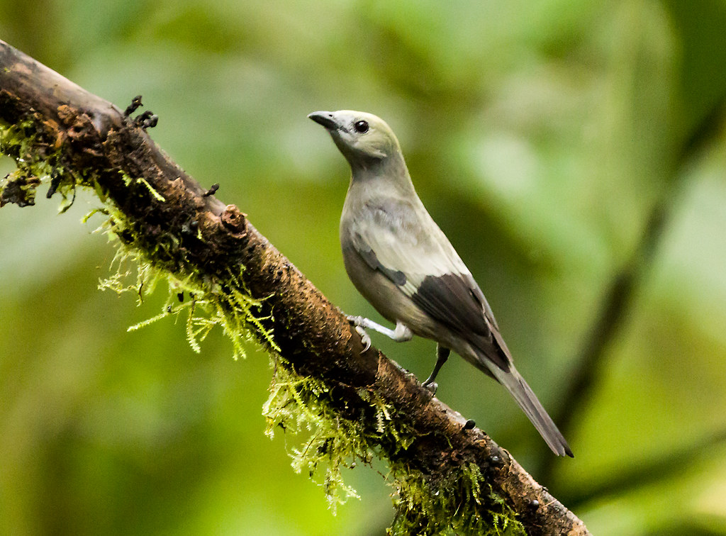 0P7A0753   Palm Tanager, Ecuador