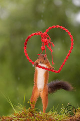 red squirrel holding a heart in the air