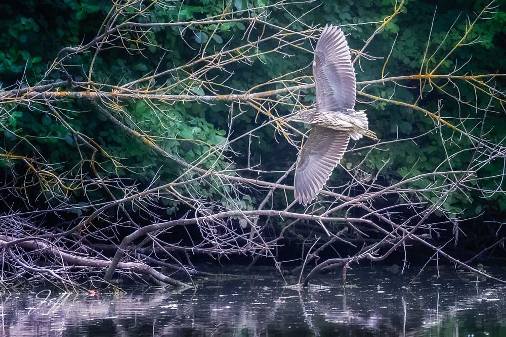 Behoreau gris en vol