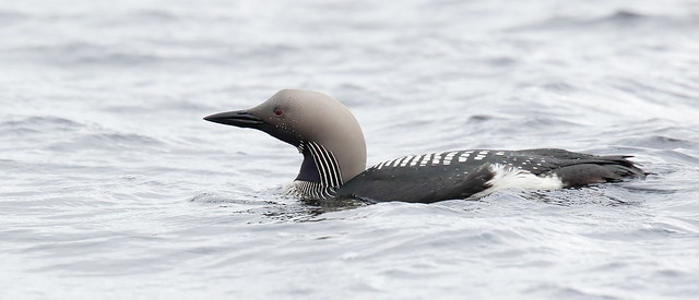 Black-throated Loon or Diver (Gavia arctica)