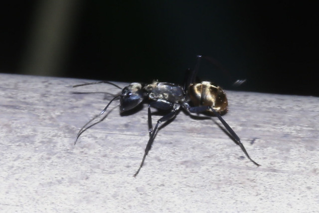 Shimmering Golden Sugar Ant - Camponotus sericeiventris - Parque Nacional Manuel Antonio, Puntarenas, Costa Rica - June 14, 2019